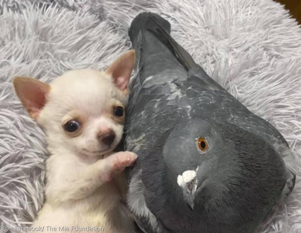 비둘기 허먼은 날지 못한다.