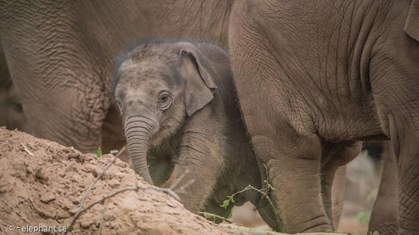 체스터 동물원의 아기코끼리 앤전.