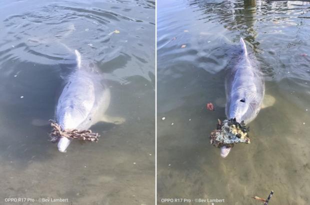 산호를 선물하는 돌고래 미스틱(왼쪽). 다른 날은 조개껍데기를 가져왔다.(오른쪽) [출처: Facebook/ Barnacles cafe dolphin feeding]