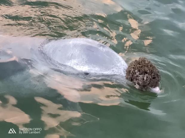바다수세미를 선물로 가져온 미스틱. 가끔 선물을 바다에 떨어뜨리기도 한다고 한다. [출처: Facebook/ Barnacles cafe dolphin feeding]