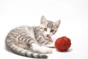 고양이 장 폐색