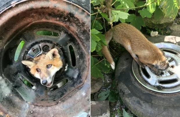 새끼 여우가 영국 수도 런던에서 타이어 휠에 머리가 끼인 채 발견됐다.
