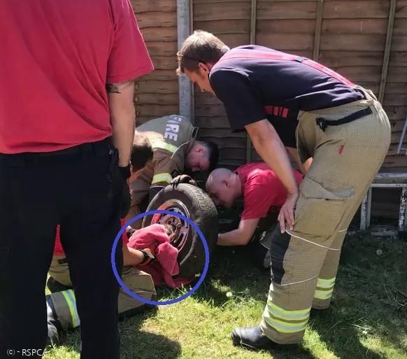 소방관들이 특수장비로 타이어 휠을 절단해서, 여우(파란 원)를 구출했다.