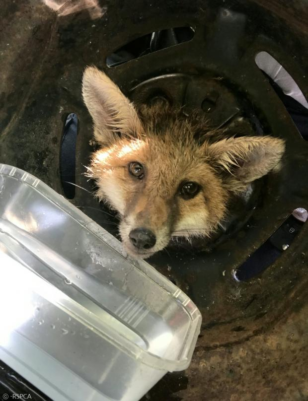 RSPCA가 여우에게 물을 먹이면서, 소방차가 출동하길 기다렸다.