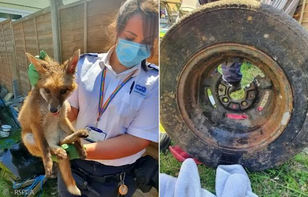 여우가 무사히 구출됐다. 오른쪽은 여우를 구출하느라 잘려나간 타이어 휠이다.