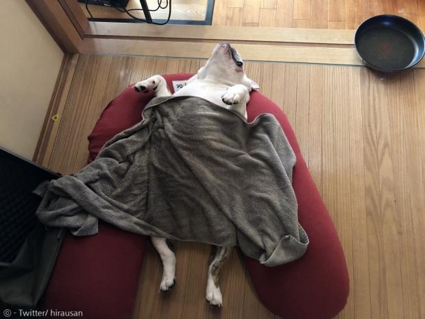곤히 잠든 프렌치 불독 네스가타.