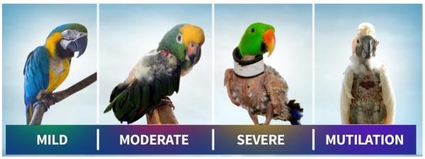 앵무새 자해 정도에 따른 차이(왼쪽에서 오른쪽 순)