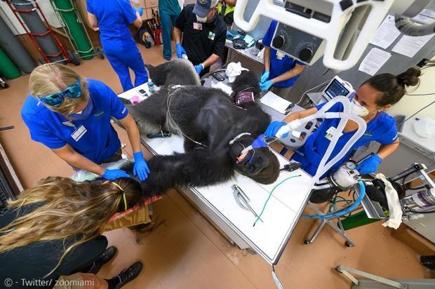마취된 고릴라 솅고.