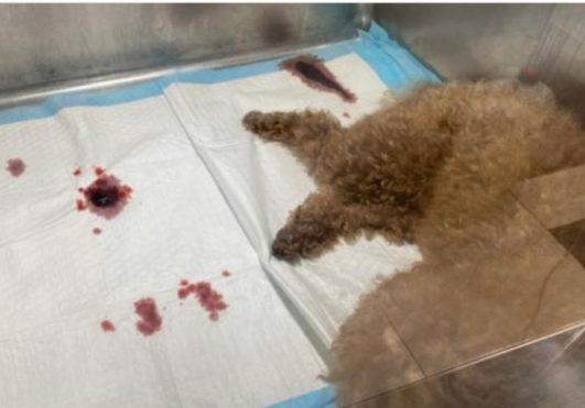 올해 4월말 4종 종합예방백신(DHPPi)을 자가접종한 뒤 쇼크가 와서 죽은 푸들 반려견. 출처: 동물자가치료부작용 사례집