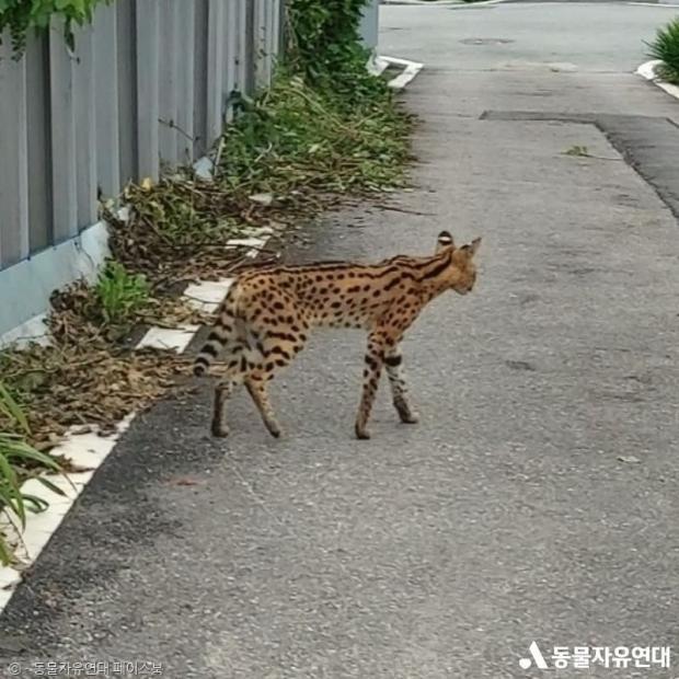동물자유연대가 27일 SNS에 공개한 평택 사바나캣의 모습.