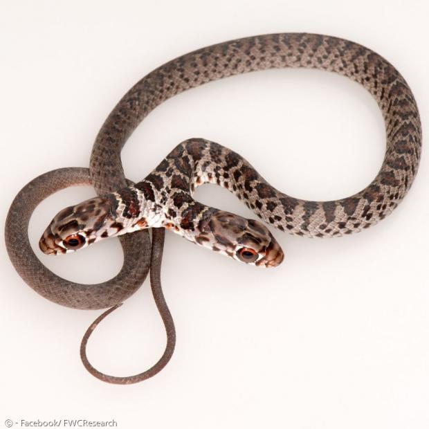 이 뱀은 검은채찍뱀으로, 일란성 쌍둥이가 배아 발달단계에서 분리되지 못하고 머리가 결합돼 한 몸에 머리 둘 달린 뱀이 됐다.
