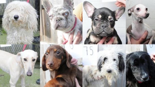 영국 경찰이 개 절도범의 손에서 구조한 개 83마리 중 48마리의 머그샷을 촬영했다. [출처: 서퍽 경찰 홈페이지]