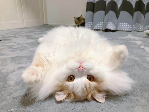 2살 괴짜 고양이 아폴로. [출처: 트위터/ Hachicotton]